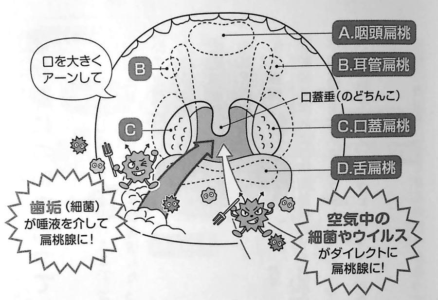 口の中を正面から見たときの扁桃の位置 第3章P87