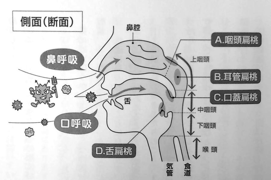 鼻と扁桃の側面図 第3章P89