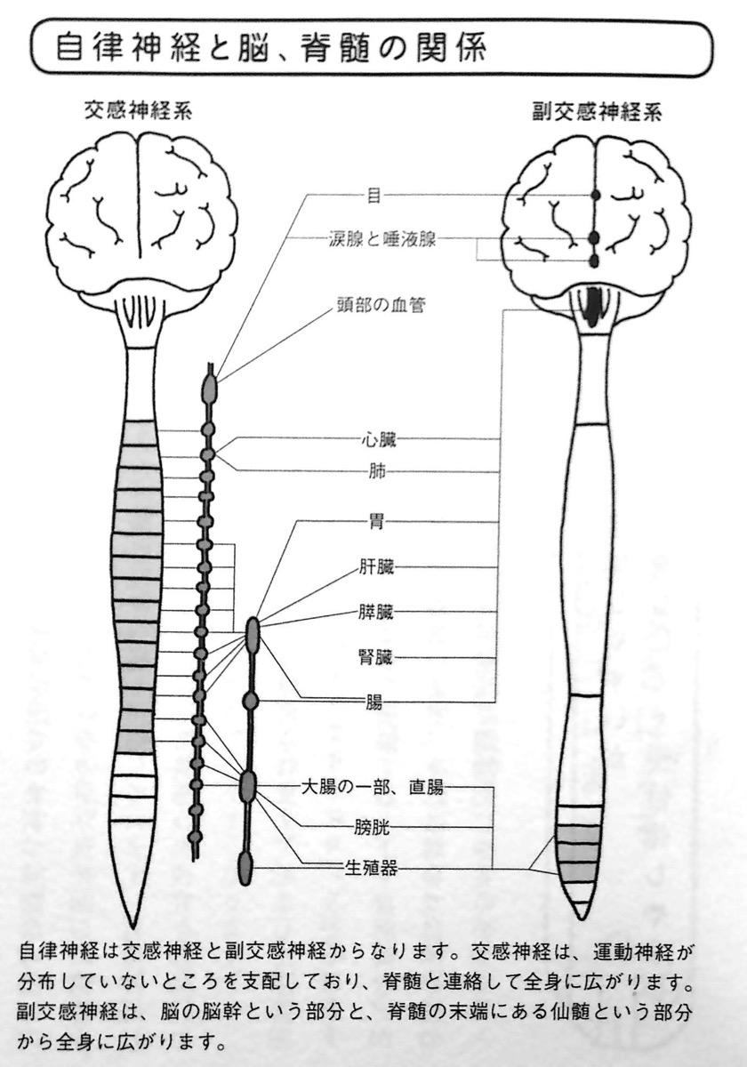 自律神経と脳 脊髄の関係 Chapter1P25