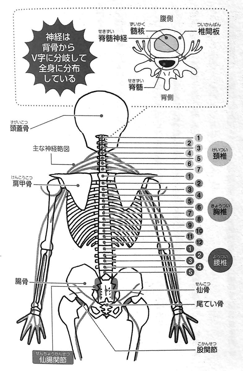 脊椎と神経のつながり 第1部P27