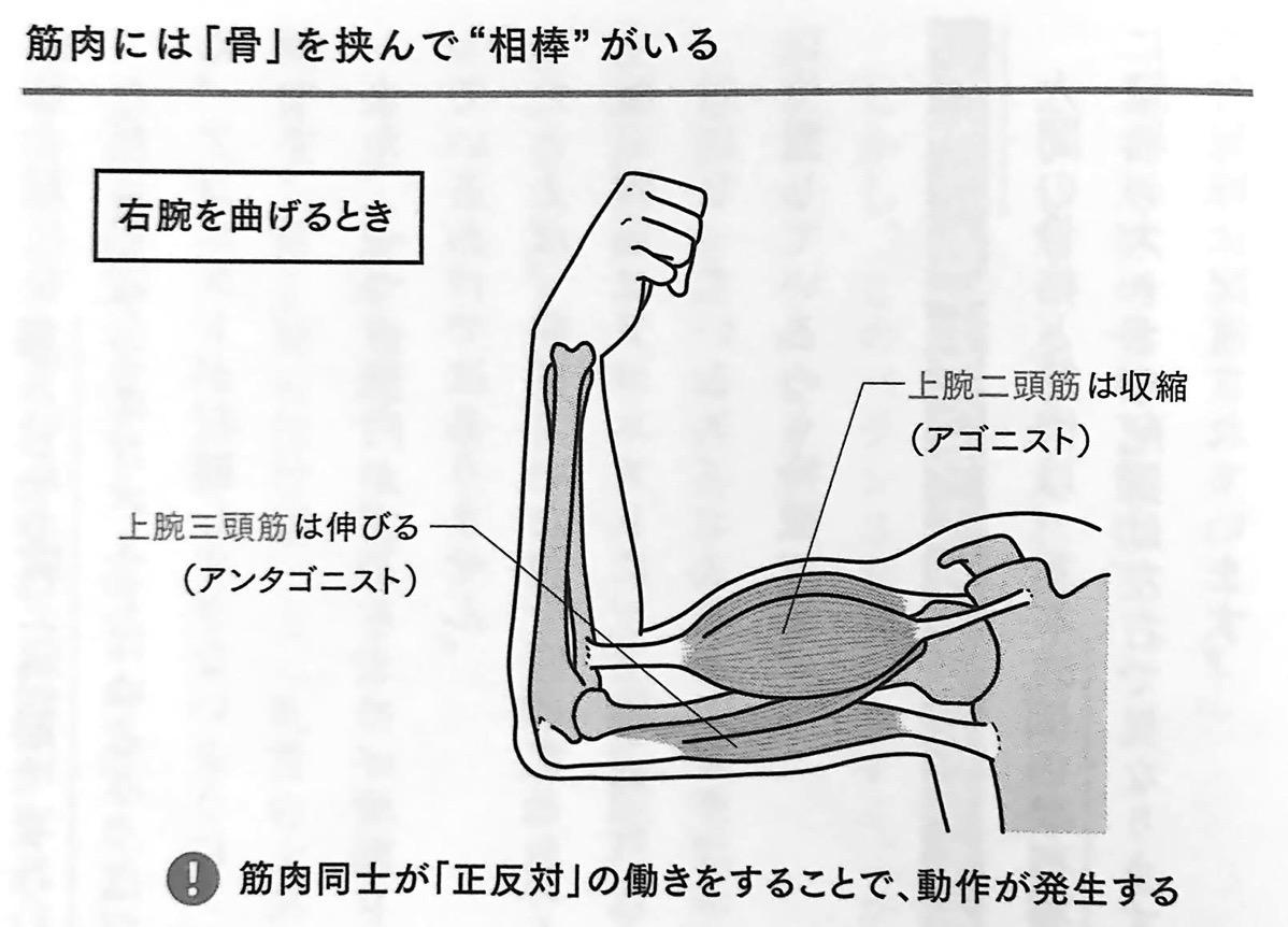 図5 筋肉には 骨 を挟んで 相棒 がいる 疲れない体 4章
