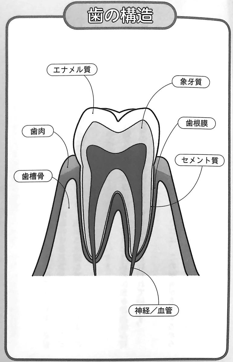 図2 歯の構造 噛む力 が病気の9割 第2章