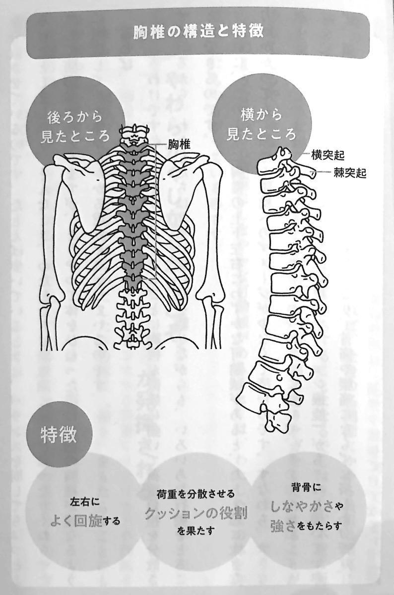 図3 胸椎の構造と特徴 10秒胸椎のばし Part2