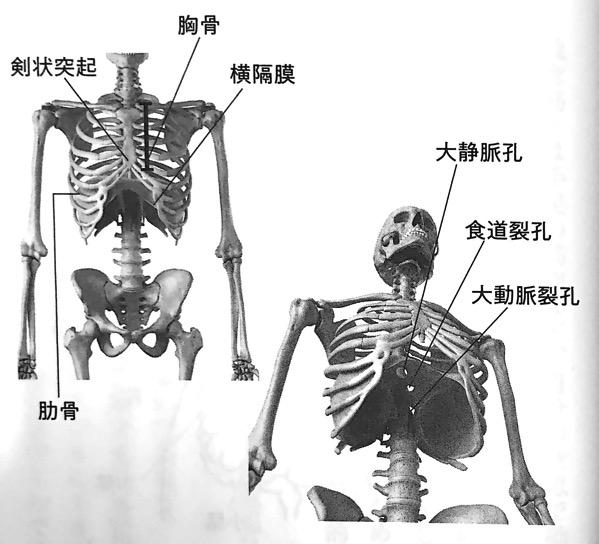 図2 横隔膜は胸部と腹部の境をなす 仕切り 横隔膜ほぐし 第1章