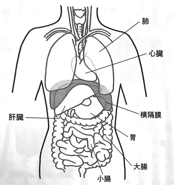 図3 横隔膜と内臓器官の位置関係 横隔膜ほぐし 第1章
